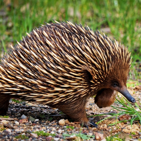 Echidna on the move ... slowly